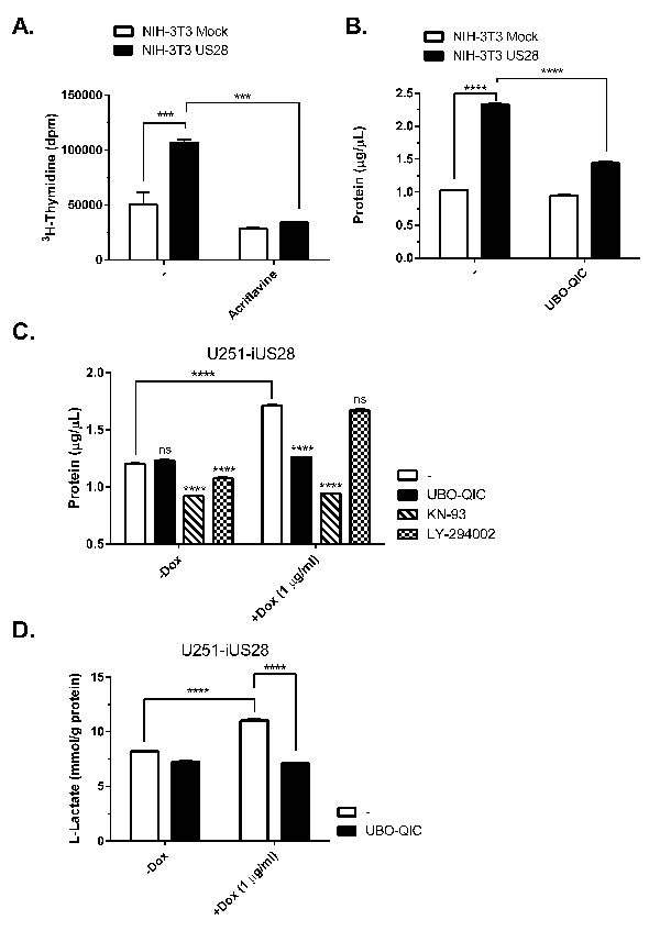 US28 signaling results in increased cell proliferation and metabolic reprogramming.