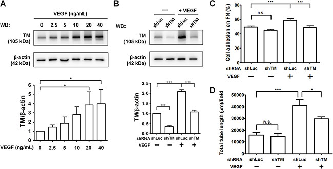 TM knockdown attenuates VEGF-induced endothelial cell adhesion and tube formation.