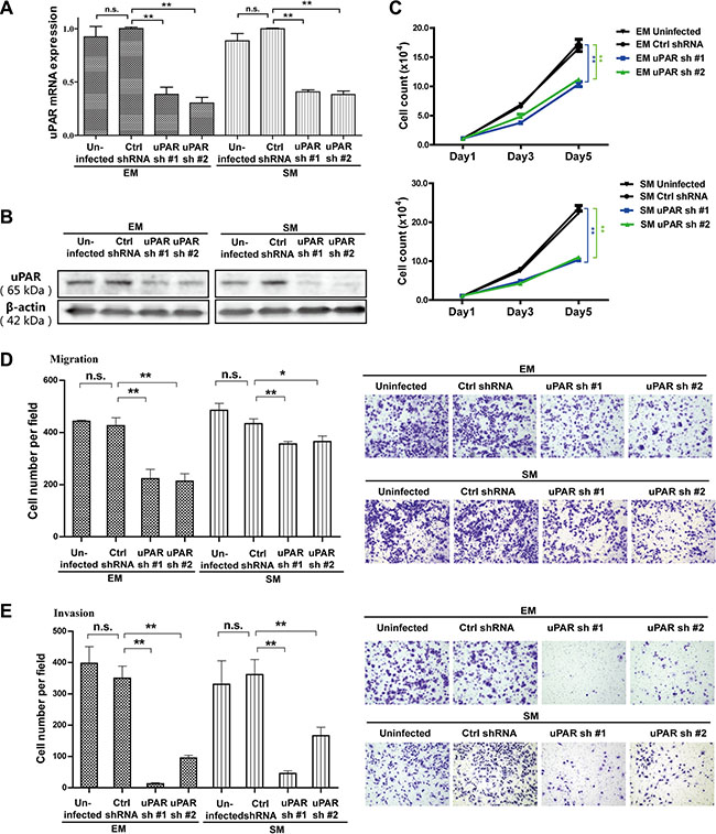 Inhibition of proliferation, migration and invasion with uPAR knockdown in rat EM and SM cells.