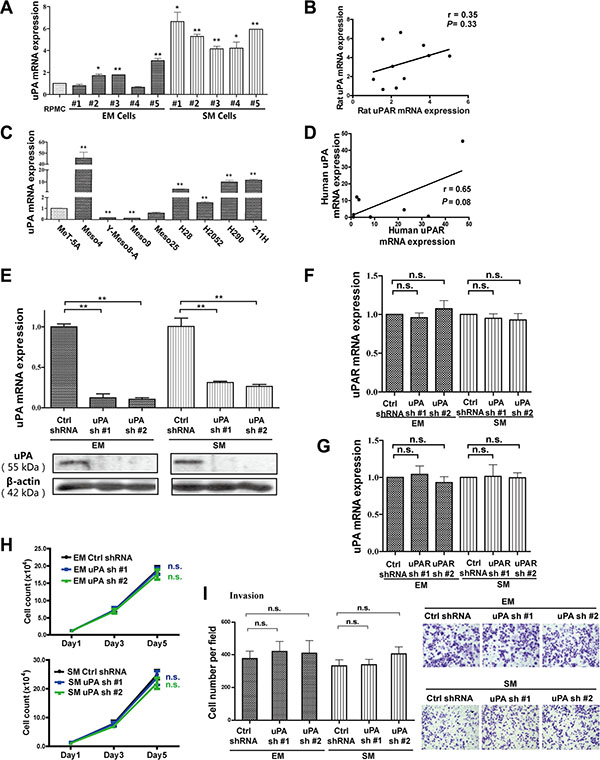 Mutual irrelevance between uPA and uPAR expression in rat/human MM cells and no effect on proliferation and invasion with uPA knockdown in rat EM and SM cells.