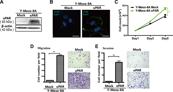 Enhanced proliferation, migration and invasion after uPAR overexpression in Y-Meso-8A cells.