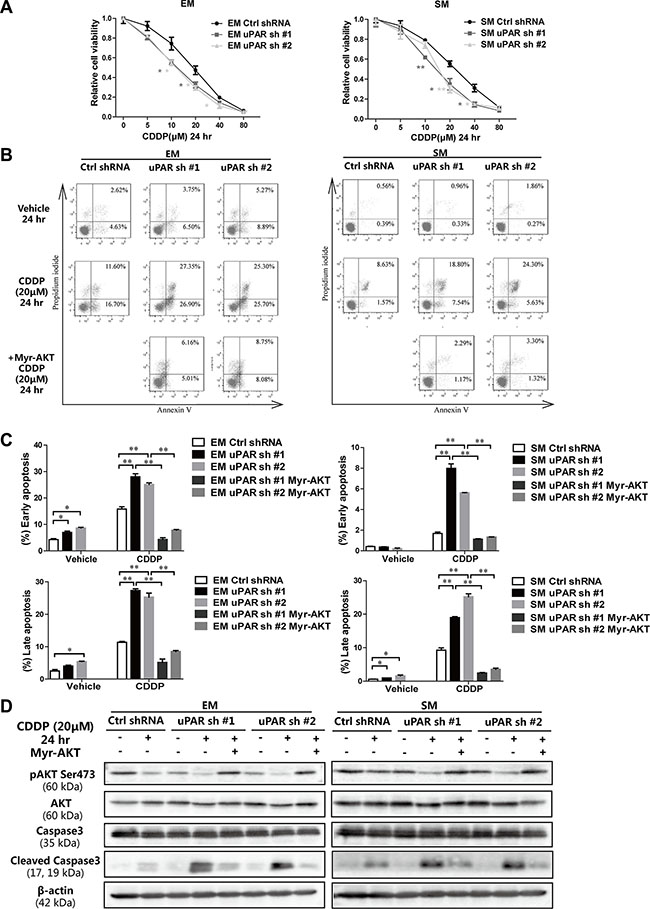 Increased cisplatin sensitivity leading to apoptosis after uPAR knockdown in rat MM cells.