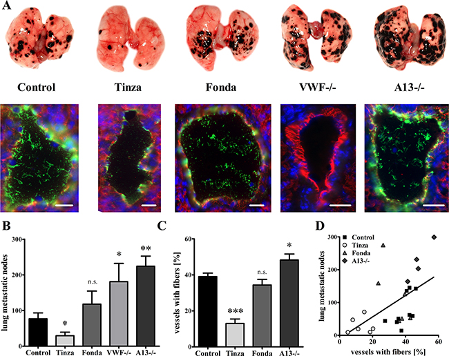 Endothelial cell activation and intraluminal VWF fibers mediate lung metastasis formation.
