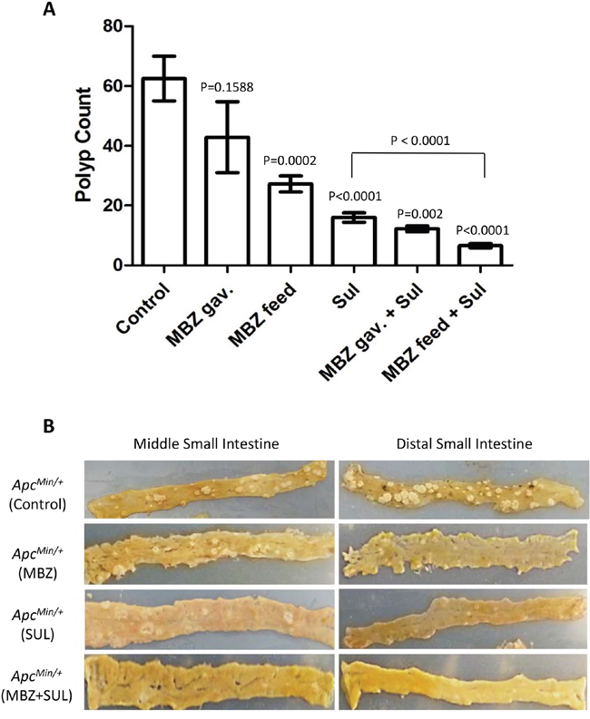 Mebendazole reduces the formation of polyps in the intestine of ApcMin/+ mice.