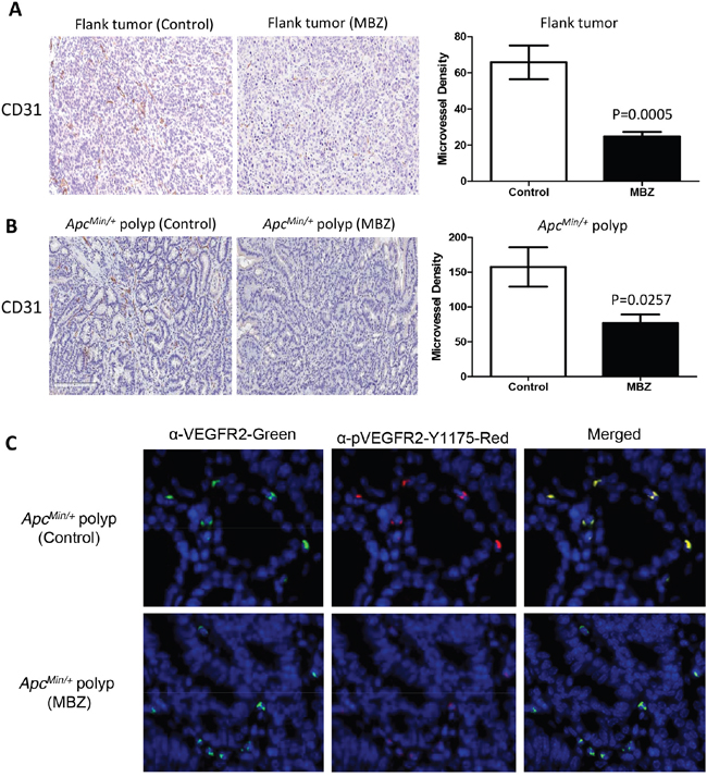 MBZ inhibits VEGFR2 kinase activity and reduces tumor blood vessel formation.