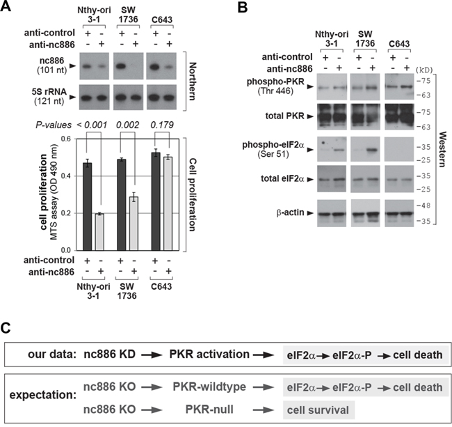 nc886 KD activates PKR, which impairs cell proliferation.