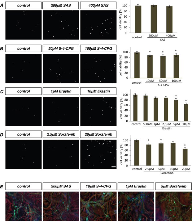 Primary astrocytes and neurons withstand toxic effects of erastin and sorafenib.