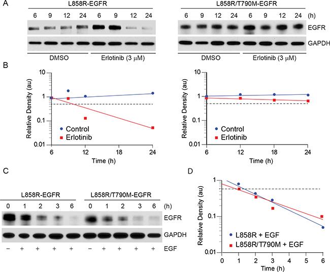 Erlotinib treatment results in faster downregulation of L858R-YFP protein.