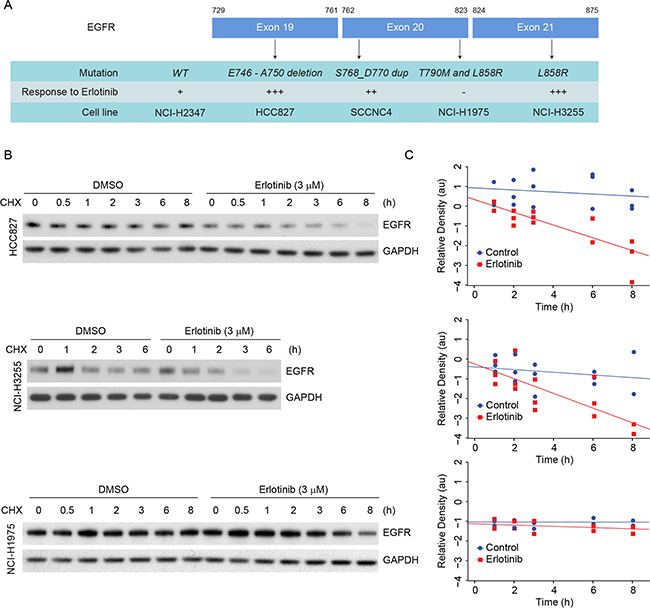 Erlotinib treatment induces faster degradation of L858R and delE746-A750 EGFR proteins in NSCLC cells.