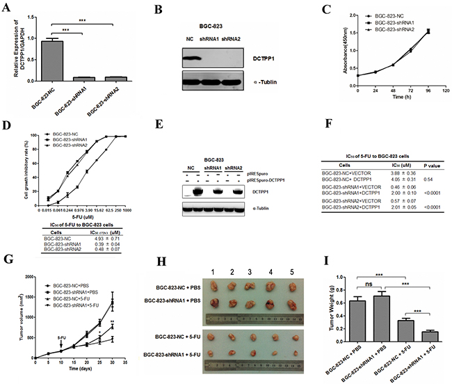 DCTPP1 knockdown in BGC-823 cells and its effects on cell proliferation upon 5-FU treatment.