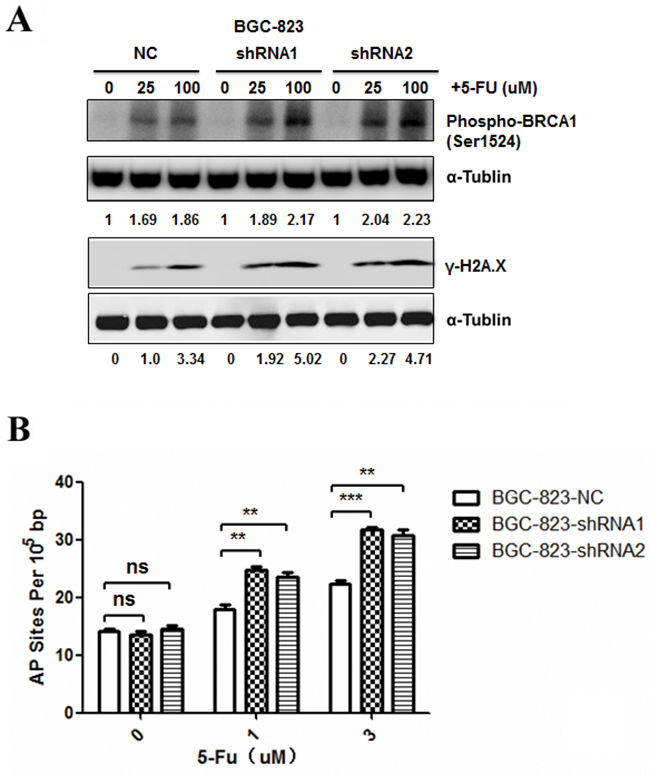 Effects of DCTPP1 knockdown on 5-FU-induced DNA damage in BGC-823 cells.
