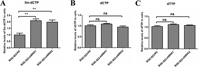 Intracellular 5-methyl-dCTP, dCTP and dTTP concentrations in DCTPP1-knockdown and control BGC-823 cells.