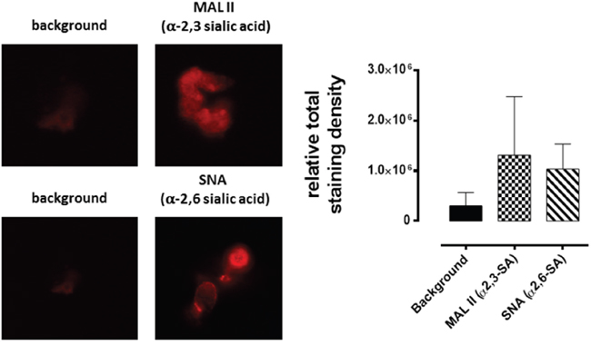 Fluorescence cytochemical detection of α-2,3 SA and α-2,6 SA expressions in MCF-7 spheroids.
