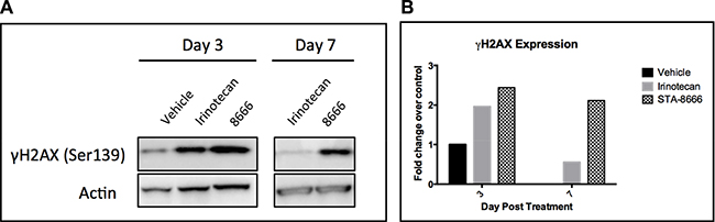 γH2AX expression in TC32 tumor samples at serial time points.