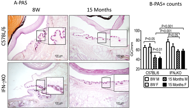 Aging leads to decreased goblet cell density in C57BL/6 mice.