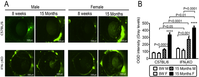 Corneal barrier function in C57BL/6 and IFN-γKO mice of both sexes at 8 weeks and 15 months of age.