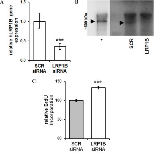 siRNA-mediated knockdown of LRP1B increases Calu-1 proliferation.