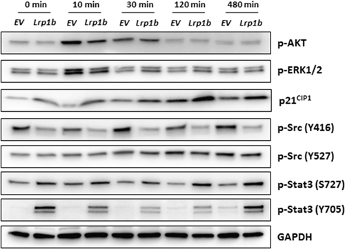 Effect of Lrp1b overexpression on intracellular signalling pathways.