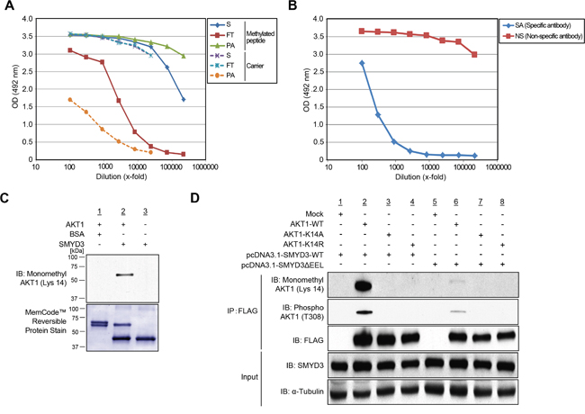 Validation of methylation on AKT1 at lysine 14 by specific antibody.