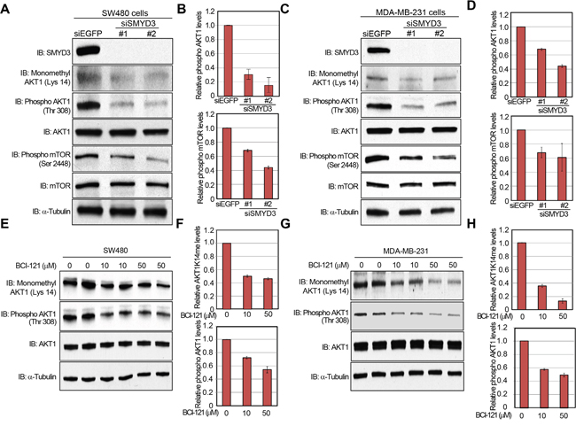Knockdown and enzyme inhibitory of SMYD3 attenuate AKT1 activity.