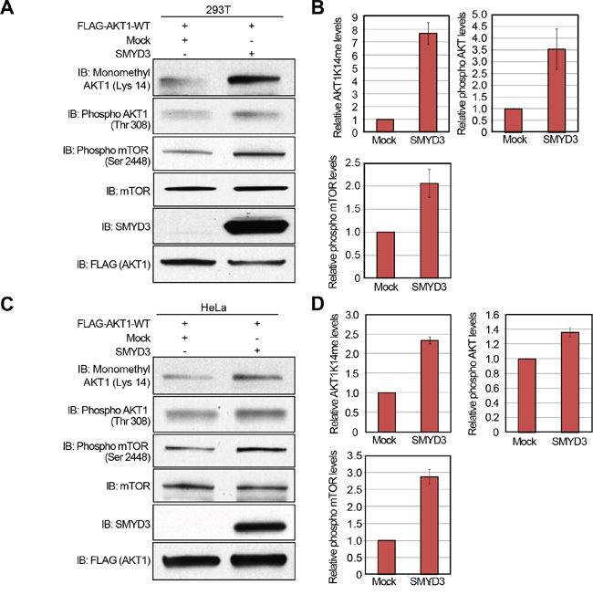 Overexpression of SMYD3 enhances the AKT pathway.