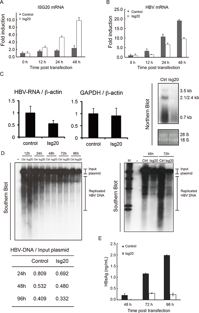 Inhibitory effects of ISG20 on HBV replication in cell culture.
