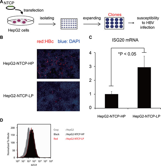 ISG20 expression is crucial in the HBV susceptibility.