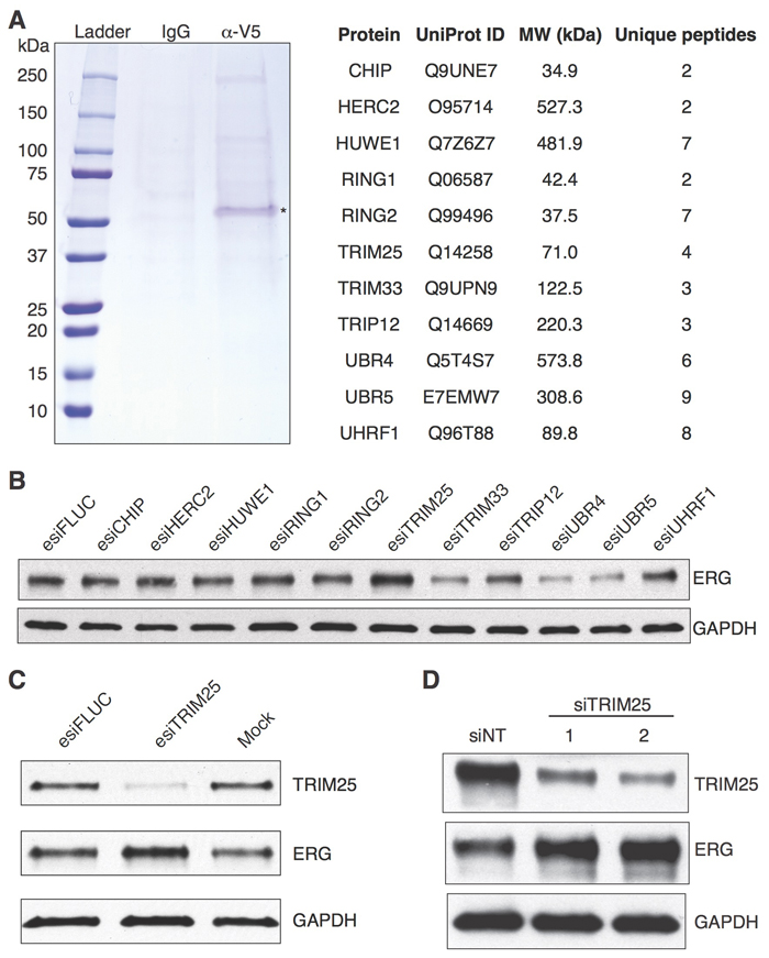 Identification of TRIM25 as a protein whose knockdown results in increased ERG protein levels.