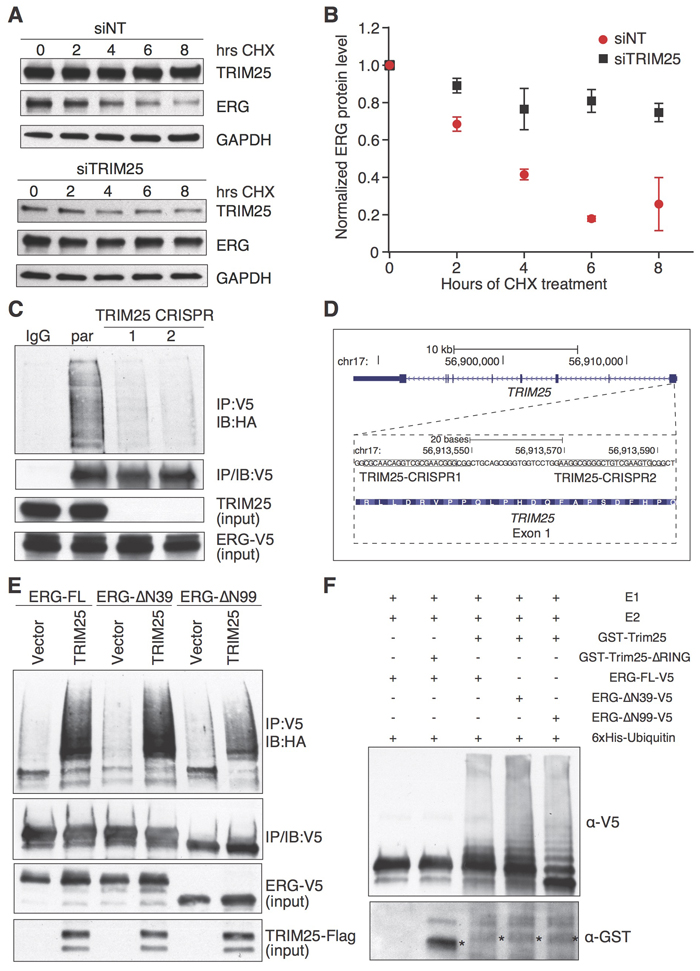 TRIM25 is a negative regulator of ERG stability and functions as an E3 ubiquitin ligase of ERG.