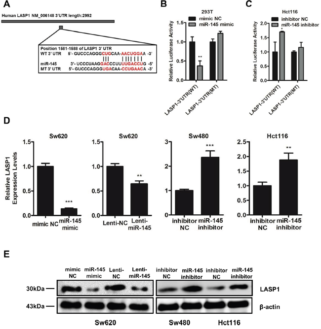 LASP1 is a direct target of miR-145.