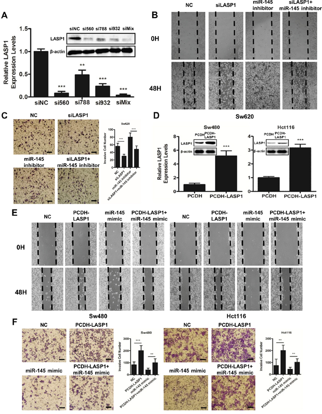 LASP1 is involved in miR-145-mediated tumor-suppressive effects.