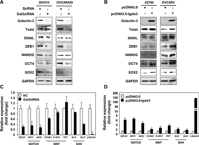 Galectin-3 regulates the Notch signaling and cancer stemness factors.