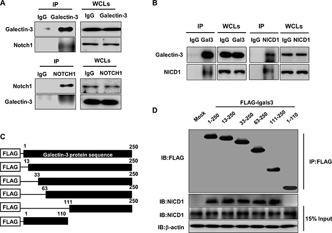 Galectin-3 interacts with NOTCH1 and NICD1 through its C-terminal domain.