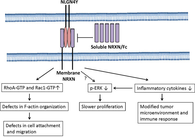 A model to illustrate NLGN4Y signaling in prostate cancer cells.