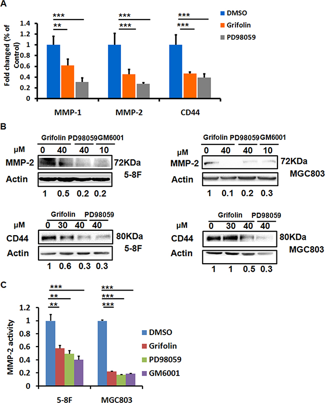 Grifolin suppresses MMPs and CD44 expressions.