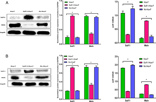 Western blot and qRT-PCR analysis for Sulf-1 and Msln in vitro and in vivo.