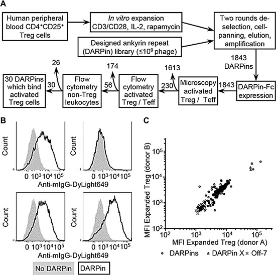 Isolation of designed ankyrin repeat proteins (DARPins) which bind human Treg cells.