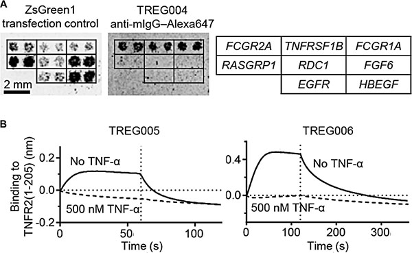 Treg-binding DARPins bind to TNFR2 in a TNF-α-competitive manner.