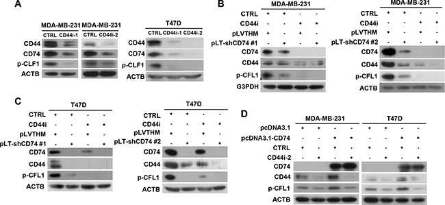 CFL1 phosphorylation was co-regulated by CD74 and CD44.