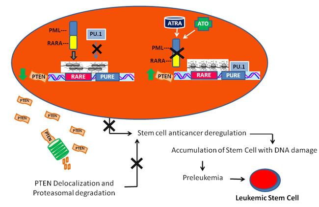 A model of leukemogenesis induced by PTEN deregulation.