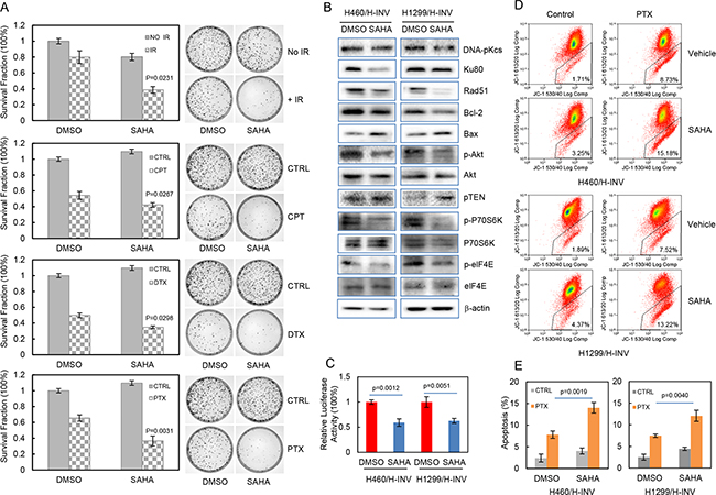 SAHA increases the sensitivity of H-INV cells to radiation and chemotherapeutic treatments.
