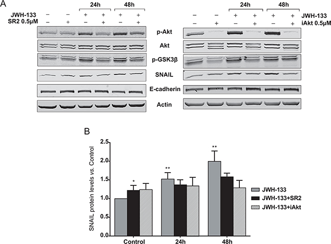 Inhibition of AKT/PKB and GSK3β phosphorylation, and SNAIL stabilization by the CB2 antagonist, SR2; and the AKT inhibitor, iAkt.