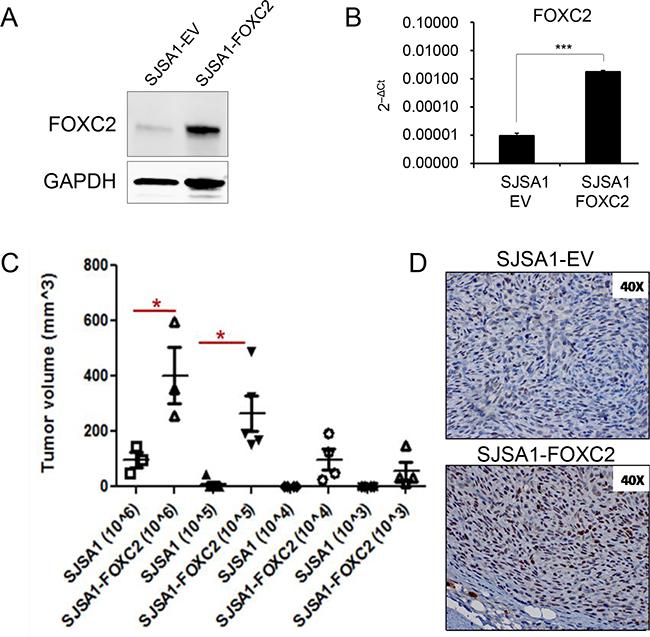 Ectopic FOXC2 enhances in vivo tumor-propagating ability in osteosarcoma cells.
