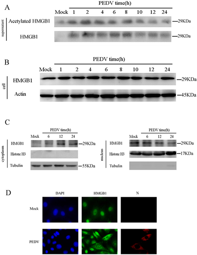 PEDV infection triggers the release of acetylated HMGB1.