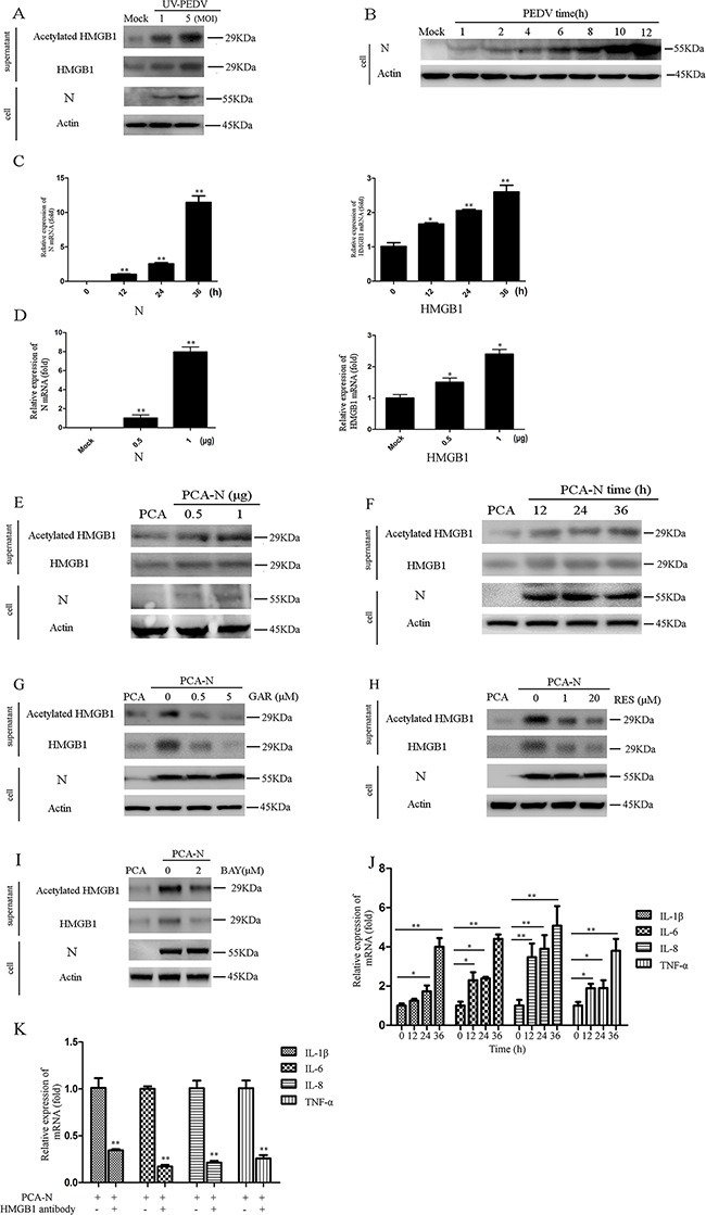 PEDV-N promotes the acetylation/release of HMGB1 and expression of proinflammatory cytokines.