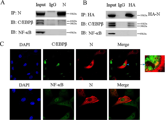 Co-immunoprecipitation experiment reveals that PEDV nucleoprotein interacts with C/EBP-β.