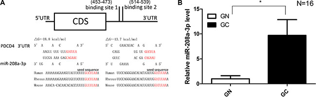 Prediction of the miR-208a-3p binding site within the PDCD4 3′-UTR.