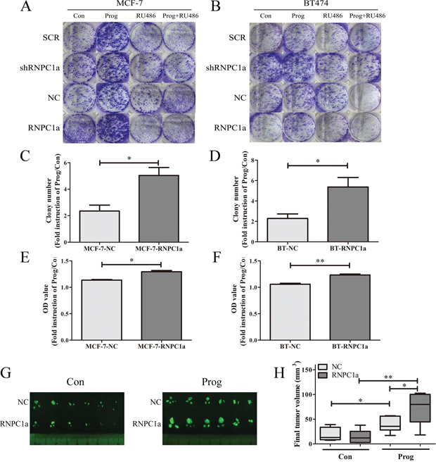 Progesterone increased breast cancer cells proliferation through PR upregulated by RNPC1a in vitro and in vivo.