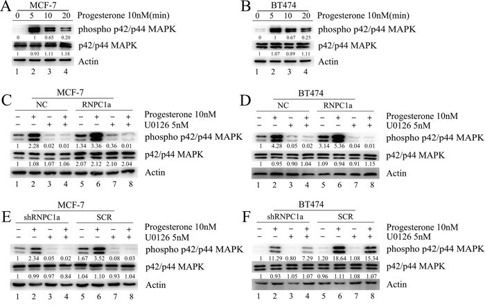 Progesterone induced phospho-p42/p44MAPK activation was enhanced by RNPC1a in MCF-7 and BT474 cells.