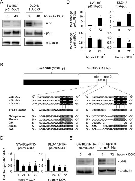 c-Kit is repressed after ectopic p53 and miR-34a expression in colorectal cancer cell lines.